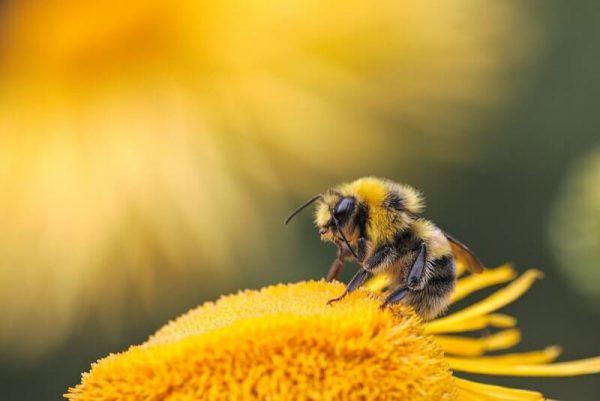 A méhek ellensége: a viaszmoly